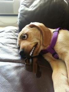 doggie drool